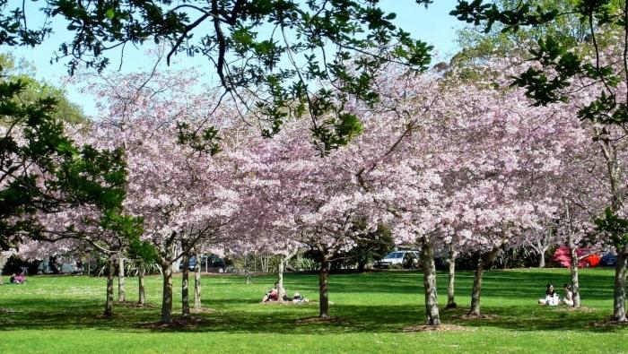 Cherry-Blossoms-Cornwall-Park-akl-1.jpg#asset:8188