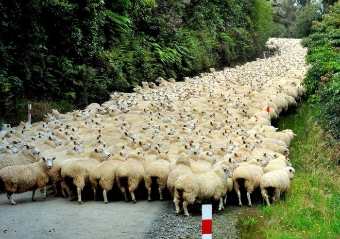 Sheep-in-road-1.jpg#asset:8177
