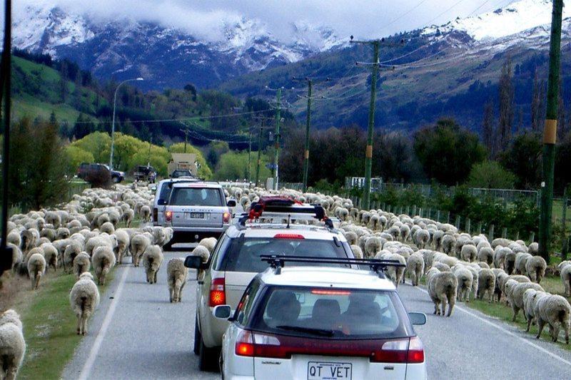 SheepOnRoad1.jpg#asset:6008