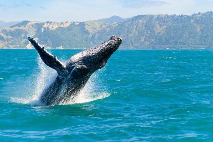 humpback-in-Kaikoura-1.jpg#asset:8159