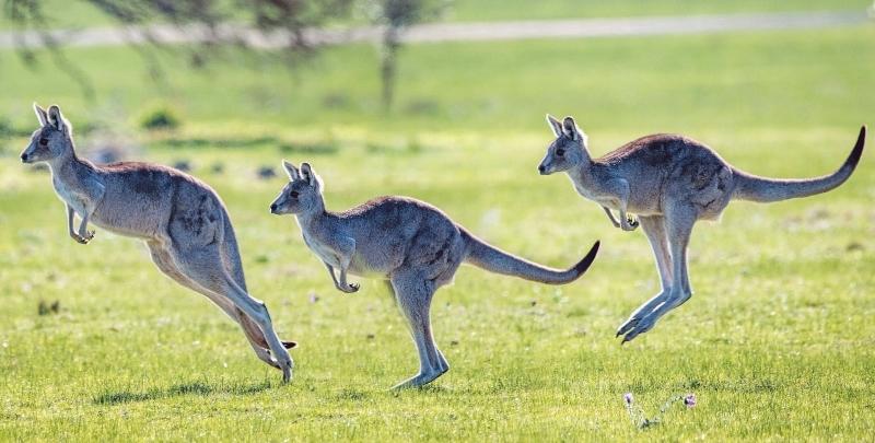 Wallabies Kangaroos In New Zealand New Zealand Vacations