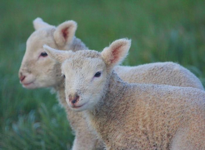 lambs_2-1.jpg#asset:8165