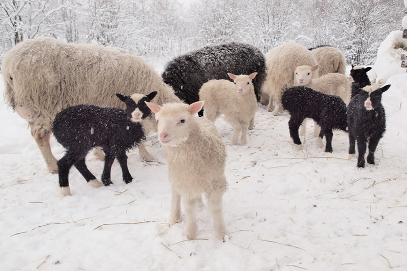 more-sheep-in-snow.jpg#asset:5638