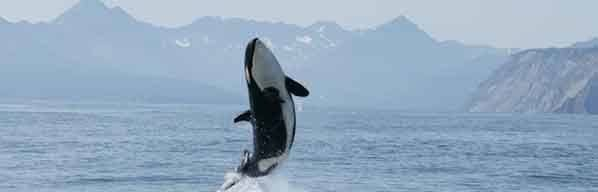 orca-whale-leaping.jpg#asset:5437
