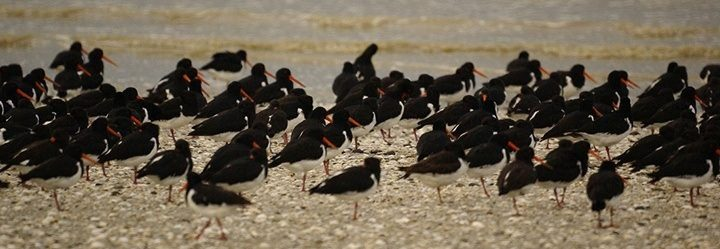 oyster-catchers-miranda.jpg#asset:5199