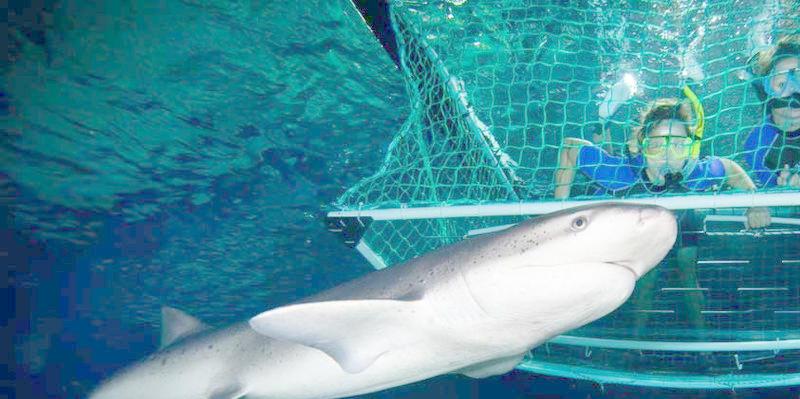 shark-cage-kelly-tarltons.jpg#asset:6260