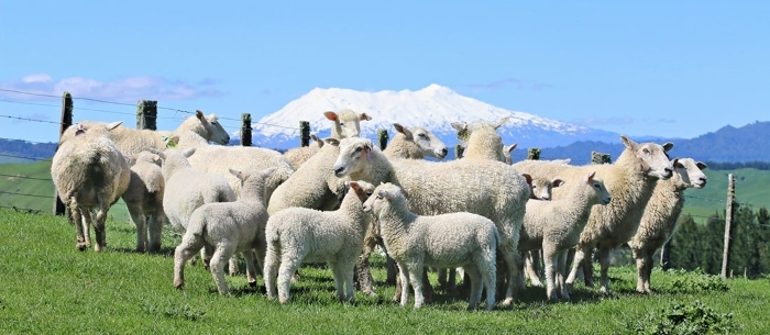 sheep_ruapehu-1.jpg#asset:8171