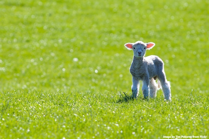 spring-lambs-in-New-Zealand-1.jpg#asset:8172